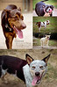Nacogdoches Animal Shelter, Nacogdoches TX<br /> <br /> A quick collage of the recent adoptable dog photos I've made for the Nac Animal Shelter.  The people at the Nac Animal Shelter helped us find Sala before it was too late and I'm forever in debt to them.  Unfortunately I was only able to make a small handful of photos for them before leaving Texas for good this weekend.  I'll continue to volunteer photography for the Billings area shelters once we are settled.  It has been a very rewarding experience.<br /> <br /> We are moving out of Texas this weekend.  My awesome stepdad Bruce is coming down from Omaha with a truck and trailer this evening, and he and Nini will head back to Omaha with all of our stuff on Sunday.  I have a photo gig in Columbia MO on Monday, so that's where I'll be until Wednesday, and finally Nini and I will head up to Billings on Thursday.  It's going to be a long seven days but we're too excited to notice!<br /> <br /> Critiques are always welcome.<br /> <br /> Daily photo: July 19, 2013